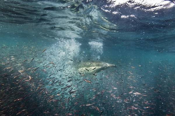 Schooling Fish Wall Art - Photograph - Common Dolphins Hunting Fish by Christopher Swann