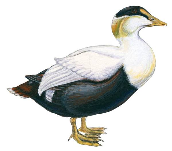 Close Up Drawing - Common Eider by Anonymous