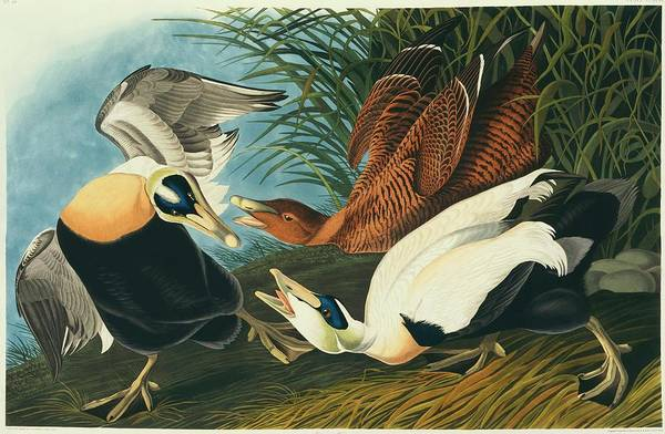 Wall Art - Photograph - Common Eider Duck by Natural History Museum, London/science Photo Library