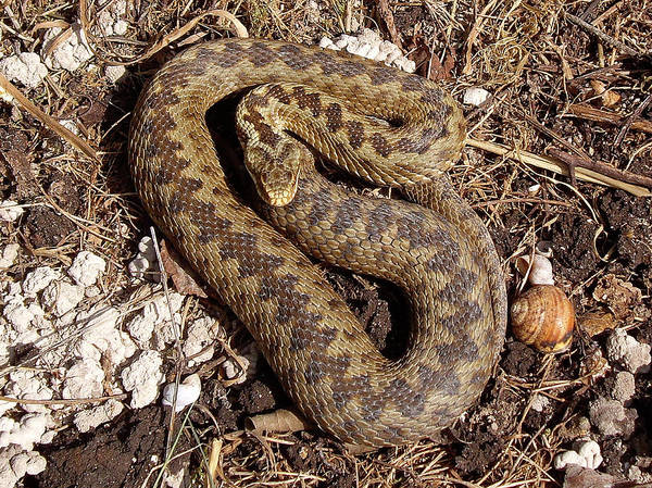 Wall Art - Photograph - Common European Adder by Natural History Museum, London/science Photo Library