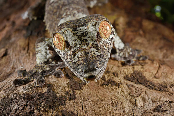 Wall Art - Photograph - Common Flat-tail Gecko by Francesco Tomasinelli