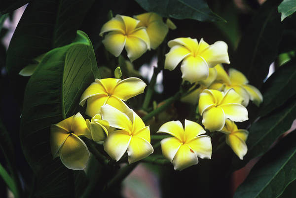 Plumeria Photograph - Common Frangipani Flowers by Duncan Smith/science Photo Library