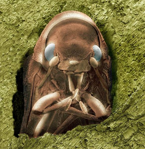 Photograph - Common Furniture Beetle by Steve Gschmeissner/science Photo Library