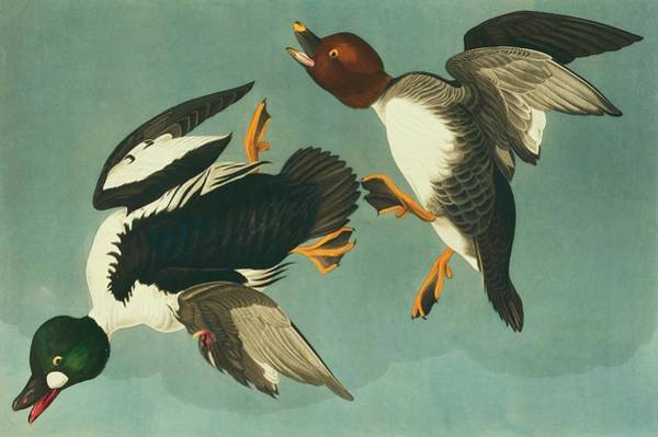 Aquatint Photograph - Common Goldeneye by Natural History Museum, London/science Photo Library