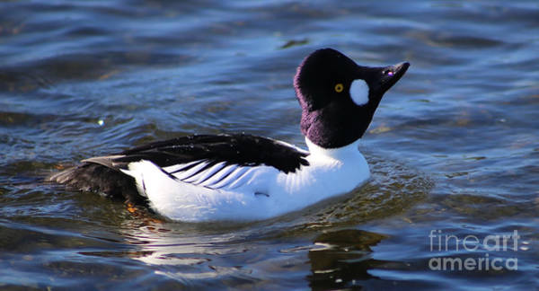 Photograph - Common Goldeneye Display by Sue Harper