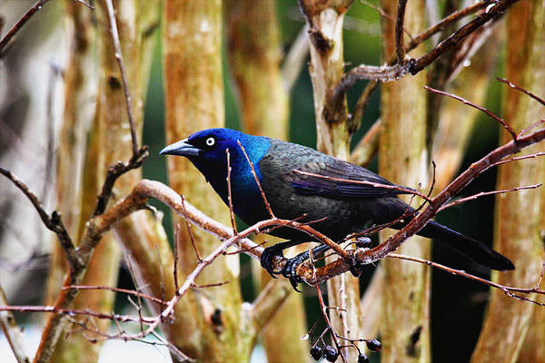 Photograph - Common Grackle by Trina  Ansel