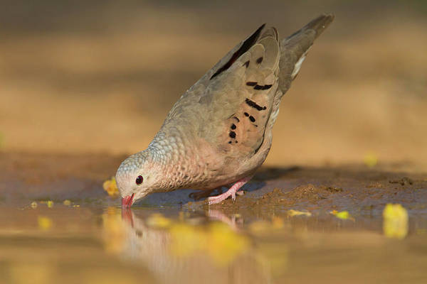 Hidalgo Photograph - Common Ground-dove (columbina Passerina by Larry Ditto