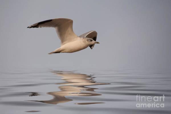 Wall Art - Photograph - Common Gull Larus Canus In Flight by John Edwards