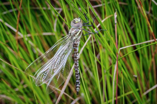 Odonata Photograph - Common Hawker Dragonfly by Paul Williams