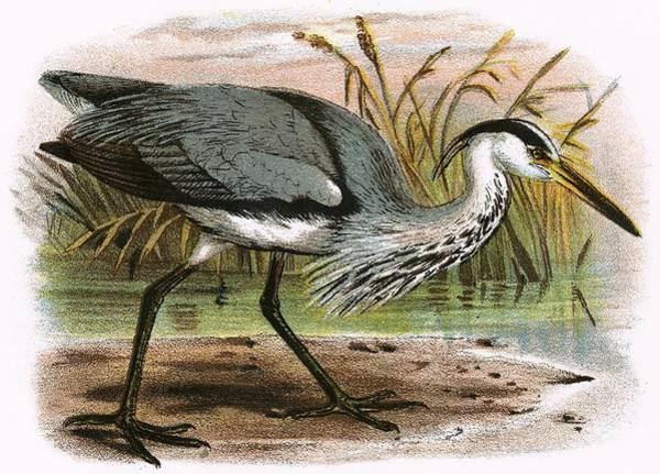 Ornithology Photograph - Common Heron by English School