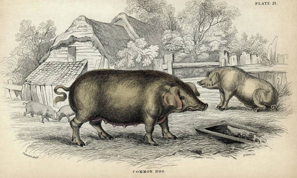 Domesticated Photograph - Common Hog by Natural History Museum, London
