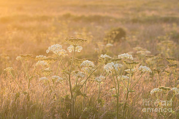 Wall Art - Photograph - Common Hogweed Sunset by Anne Gilbert