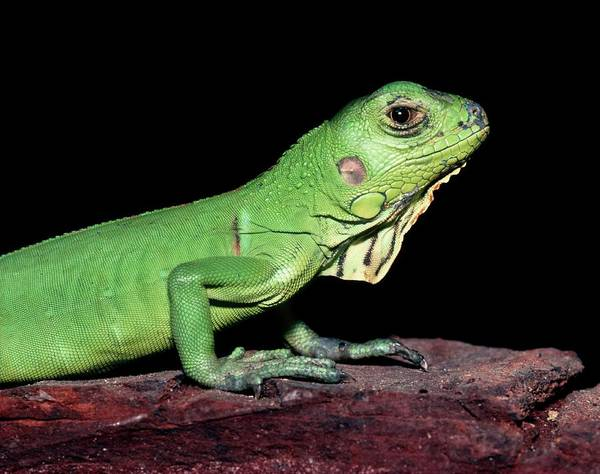 Wall Art - Photograph - Common Iguana by Dr Morley Read/science Photo Library