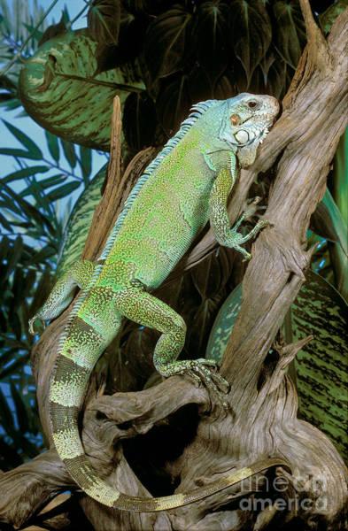 Wildlife Er Photograph - Common Iguana by ER Degginger