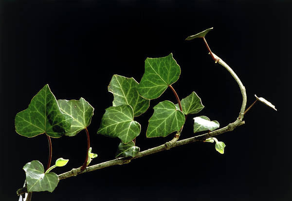 Climbing Plants Photograph - Common Ivy by Th Foto-werbung/science Photo Library