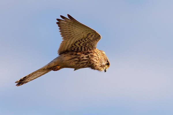Wildfowl Photograph - Common Kestrel Hovering In The Sky by Roeselien Raimond