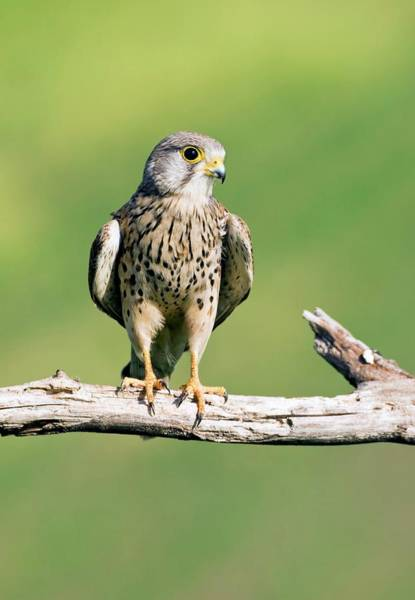 Wall Art - Photograph - Common Kestrel by John Devries/science Photo Library