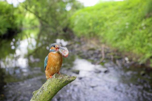 Kingfisher Photograph - Common Kingfisher Feeding On Fish by Simon Booth/science Photo Library