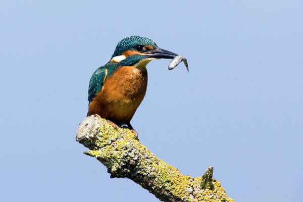 Alcedo Photograph - Common Kingfisher by John Devries/science Photo Library