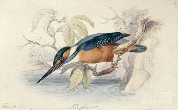 Alcedo Photograph - Common Kingfisher,19th Century by Natural History Museum, London