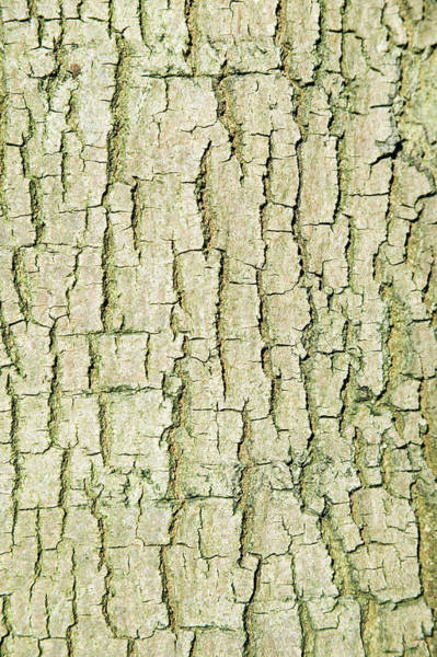 Crevice Photograph - Common Lime Tree Bark by Gustoimages/science Photo Library