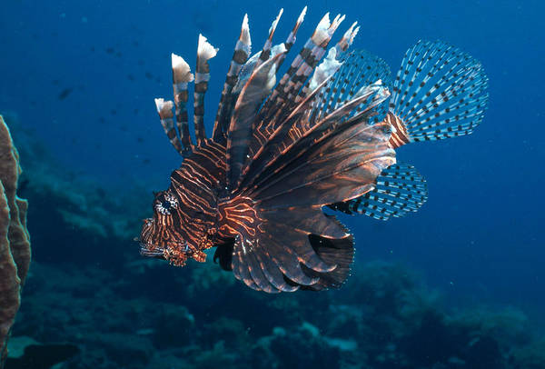 Photograph - Common Lionfish by Andrew J. Martinez