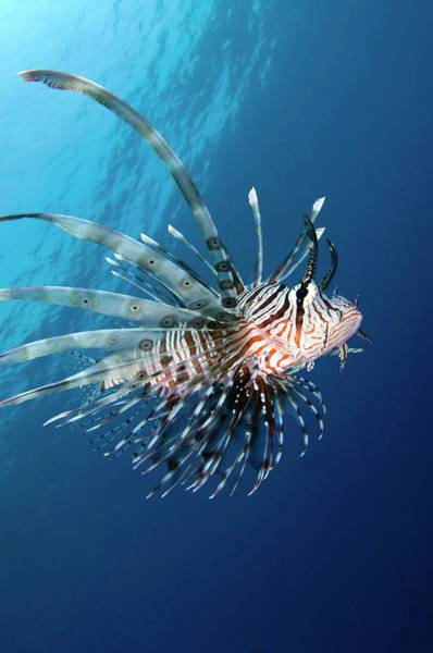 The Maldives Photograph - Common Lionfish by Scubazoo/science Photo Library