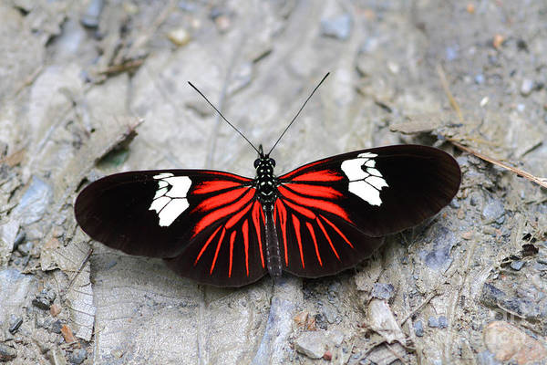 Photograph - Common Longwing Butterfly by James Brunker