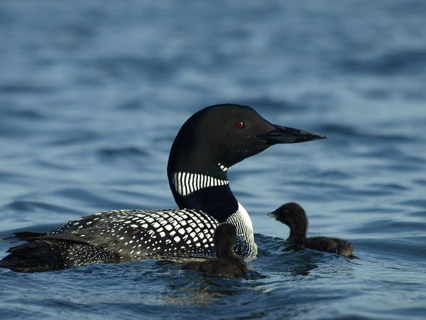 Photograph - Common Loon Family by James Peterson