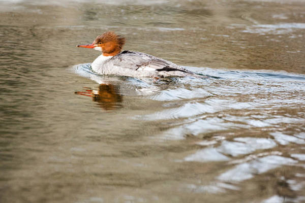 Photograph - Common Merganser Hen by Bill Wakeley