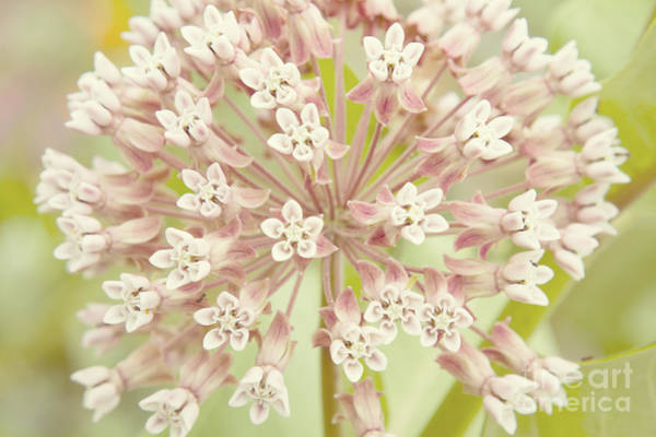 Photograph - Common Milkweed by Chris Scroggins