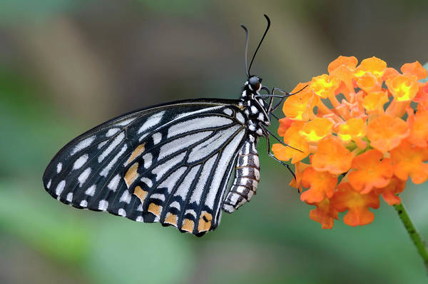 Entomological Photograph - Common Mime Butterfly by Nigel Downer