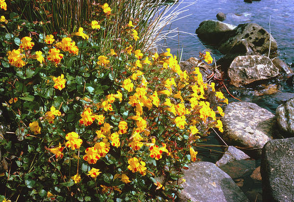 Monkey Flower Wall Art - Photograph - Common Monkey Flower (mimulus Guttatus) by Maurice Nimmo/science Photo Library