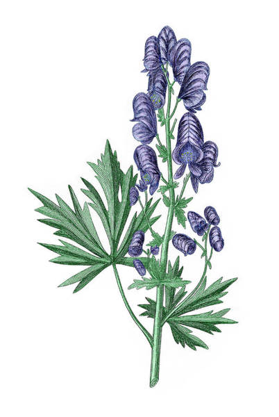 Medicinal Photograph - Common Monkshood by Sheila Terry/science Photo Library