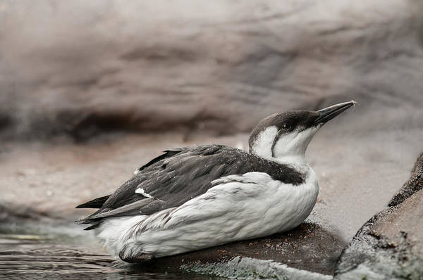 Photograph - Common Murre by Lara Ellis