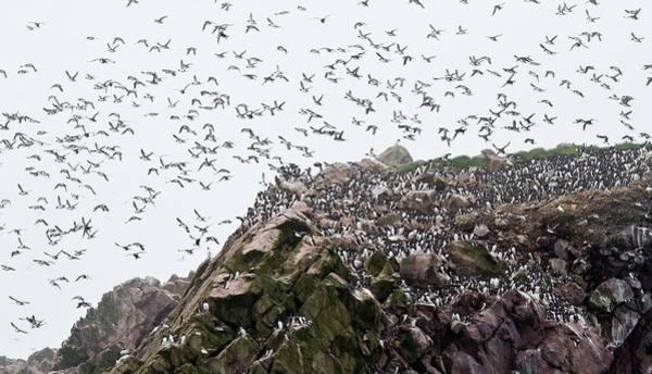 Canadian Fauna Photograph - Common Murres by Bob Gibbons/science Photo Library