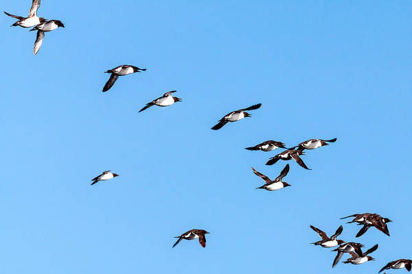 Photograph - Common Murres Flying Away by Perla Copernik