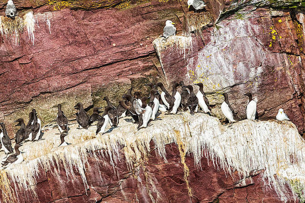 Art Print featuring the photograph Common Murres by Perla Copernik
