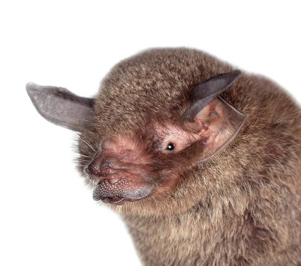 Natural History Photograph - Common Mustached Bat by Natural History Museum, London/science Photo Library