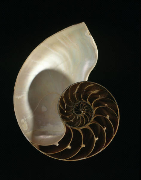 Mollusca Photograph - Common Nautilus by Natural History Museum, London
