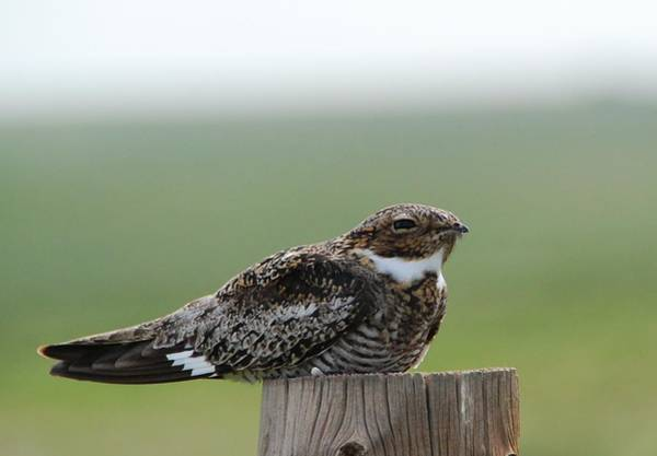 Photograph - Common Nighthawk At Rest by Cascade Colors