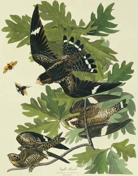 Wall Art - Photograph - Common Nighthawk by Natural History Museum, London/science Photo Library