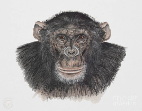 Painting - Common Or Robust Chimpanzee - Pan Troglodytes - Chimpanze - Chimpance - Scimpanze - Simpansi - Ape  by Urft Valley Art