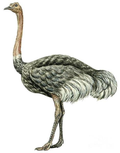 Zoo Animals Drawing - Common Ostrich by Anonymous