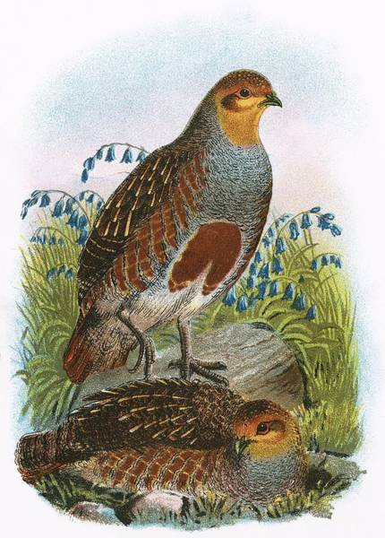 Ornithology Photograph - Common Partridge by English School