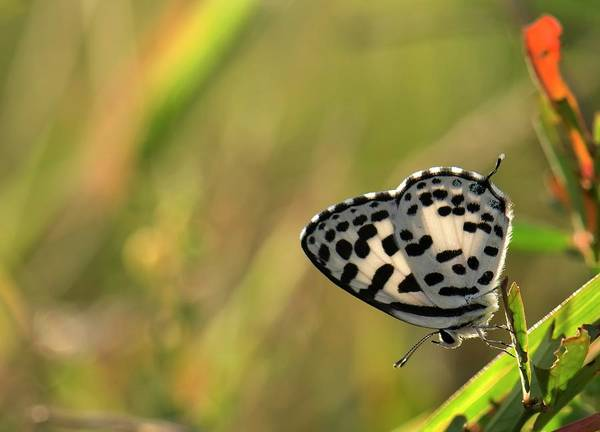 South India Photograph - Common Pierrot Butterfly by K Jayaram