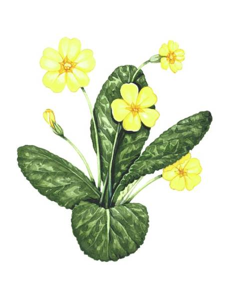 Wall Art - Photograph - Common Primrose by Lizzie Harper