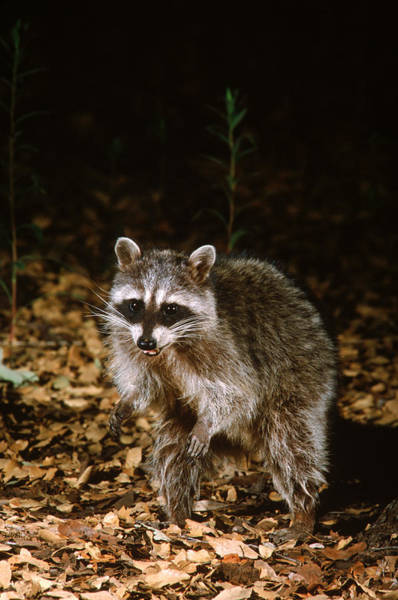 Wall Art - Photograph - Common Raccoon by Gerald C. Kelley