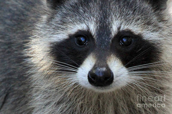 Photograph - Common Raccoon by Meg Rousher