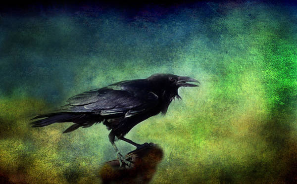Wall Art - Photograph - Common Raven by Barbara Manis